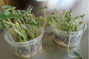 Love Vs Anger Experiment, Impact on Plant Growth